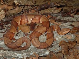 CopperheadsWith their flashy banded pattern and tawny coloring, they are among the most easily identifiable snakes in Texas. They're common in North Texas, particularly along streams and rivers. They generally grow to 2 to 3 feet long.