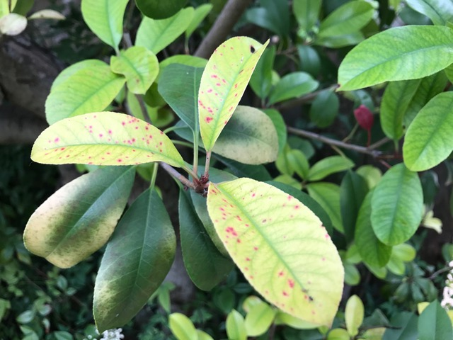 Photinias are susceptible to red tip photinia disease
