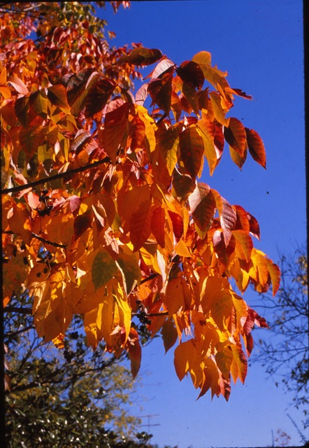 adacdfde445f4 The leaflets are rounded when young but become more pointed with age. The  very closely kin white ash has dark lustrous color on the top of the leaves  with a ...