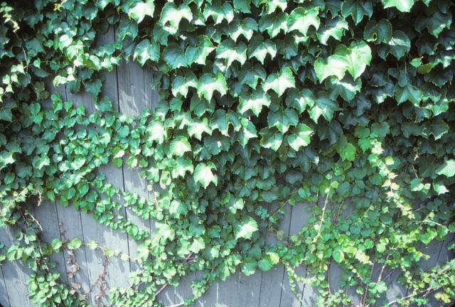 Garden Notes Ivy Vine 1297