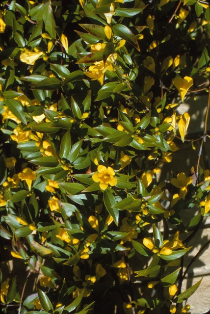 Dirt doctor library topics habit climbing vine that needs support to start profuse yellow flowers in the early spring will sometimes bloom during warm spells in winterno problem mightylinksfo Image collections