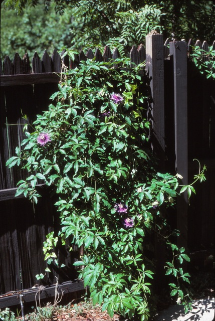 Dirt doctor library topics passion flower vine mightylinksfo